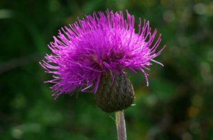 scotland national flower